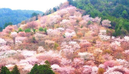 奈良県吉野の千本桜。山に広がる桜の絶景を味わう。